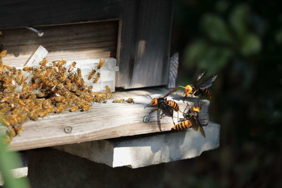murder hornets attack a honey bee hive